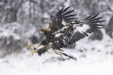 Our guest Jetmir Troshani took this picture of this immature Golden Eagle in heavy snowing from our Golden Eagle`s hide in Bulgaria, during Golden Eagle photography tour in the end of December 2019. Gear: Nikon 850D, lens Nikkor 600mm f/4E FL ED VR, f/5.3, 1/2000 sec, ISO 2000 Photo by Jetmir Troshani