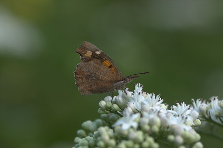 Nettle tree Butterfly